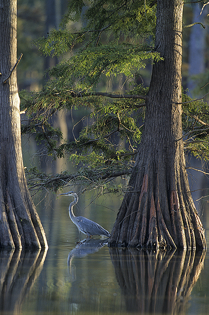 Great Blue Heron between Cypress trees--©Richard Day