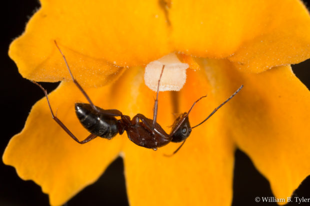 Camponotus ant. © William B. Tyler