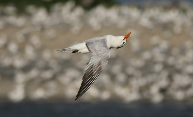 Royal Tern with upside down head © Frank W. Baker