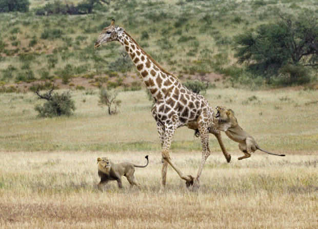 Male Lion Attack on Giraffe. © Michael Cohen