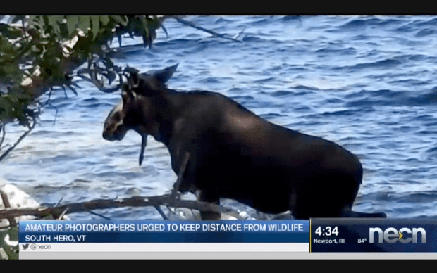 News report of drowned moose.