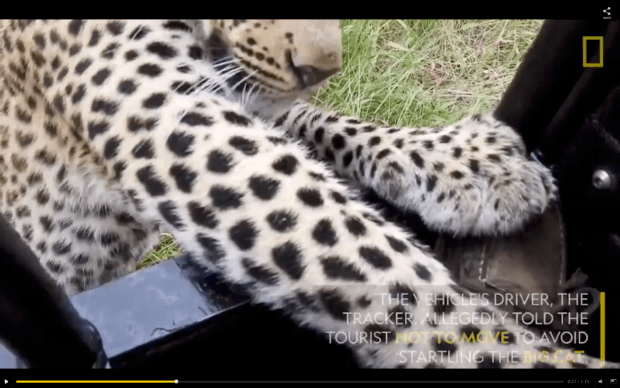 National Geographic story on safari vehicle that got too close to a leopard.