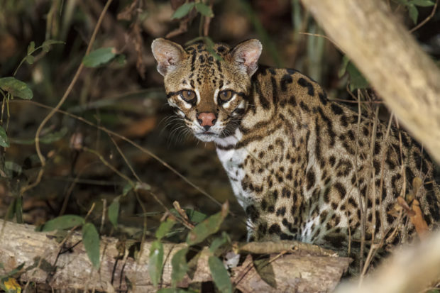 The last remaining ocelots in the US are in the Laguna Atascosa NWR and nearby lands.