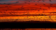 Bosque del Apache NWR is the winter home of thousands of Sandhill Cranes and Snow Geese.