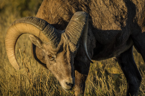 Rocky Mountain bighorn sheep (Ovis canadensis) in Badlands National Park, SD.