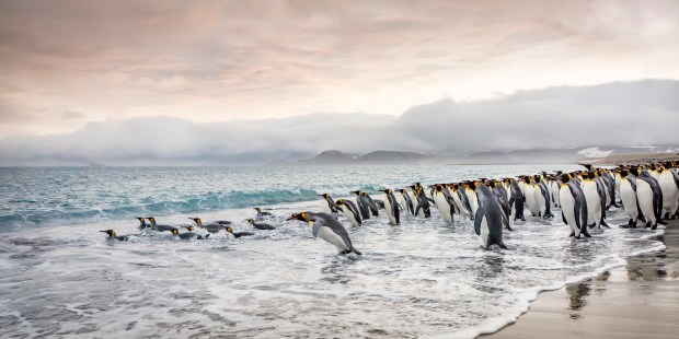 "Showcase 2019 Top 100 winner: ""King Penguins Enjoy Early Morning Swim, South Georgia Island"" © Carl Henry"