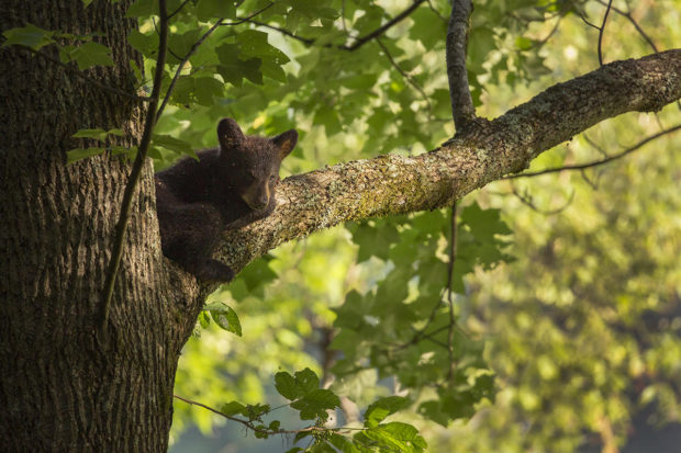 Black bear cub, side lit at sunrise, Great Smoky Mountains National Park.