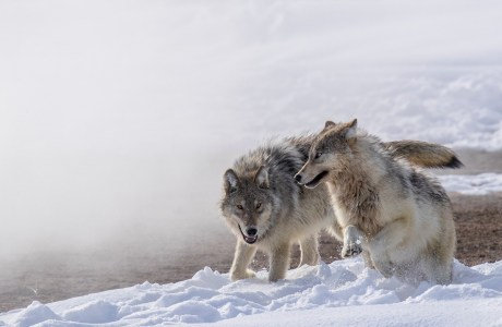 """Showcase 2019 Top 100 winner: """"Fully Winter-coated Wolf Pups Playing in the Snow, Yellowstone National Park, Wyoming"""" © Scott Dere."""