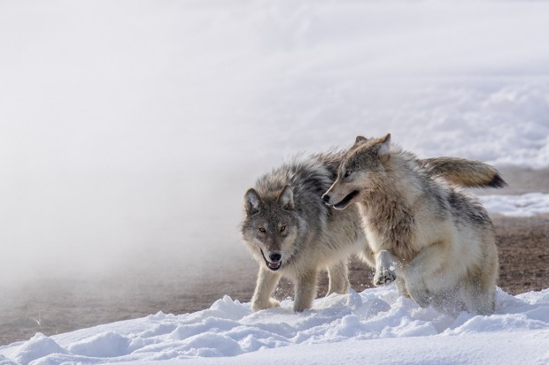 "Showcase 2019 Top 100 winner: ""Fully Winter-coated Wolf Pups Playing in the Snow, Yellowstone National Park, Wyoming"" © Scott Dere."