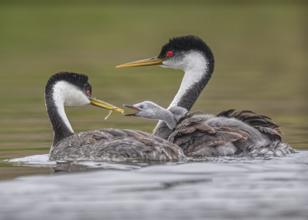 "Showcase 2019 Top 100 winner: ""Feeding Time, Lake Hodges, California"" (Category: Birds) © Cameron Azad."