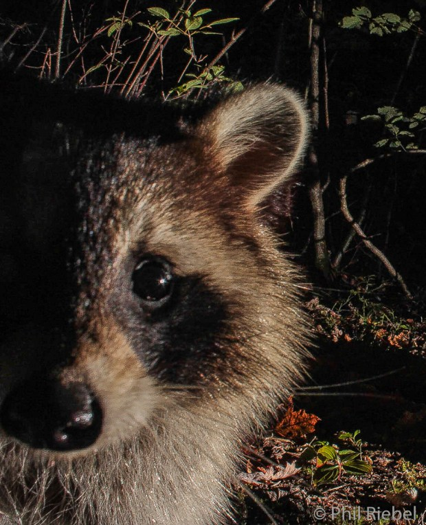 North American Raccoon (Procyon lotor), Renous, New Brunswick, Canada.