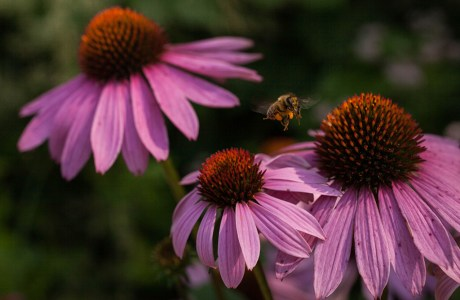 There were many bees buzzing around these purple coneflowers on the sunny summer day that I took this photo. After chasing them around for a while, I opted to take a stationary position, frame my shot, and wait for them to come to me. The results were worthwhile and I particularly like how the tight framing brings you into the world of the bee.