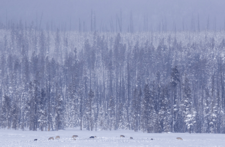 The Wapiti wolf pack in Yellowstone.