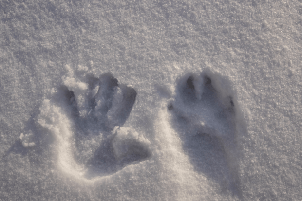 To show the massive size of these wild wolves, I put my own hand print next to one of the wolf tracks.