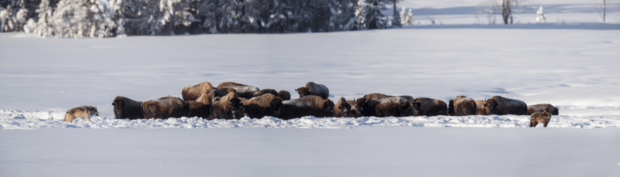 Day 2: Three photo panorama of a standoff between bison and wolves.