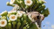 Gilded Flicker and Bees Pollinating Saguaro Cactus Blooms