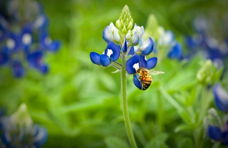 Bluebonnets, Terry Hershey Park, Bee