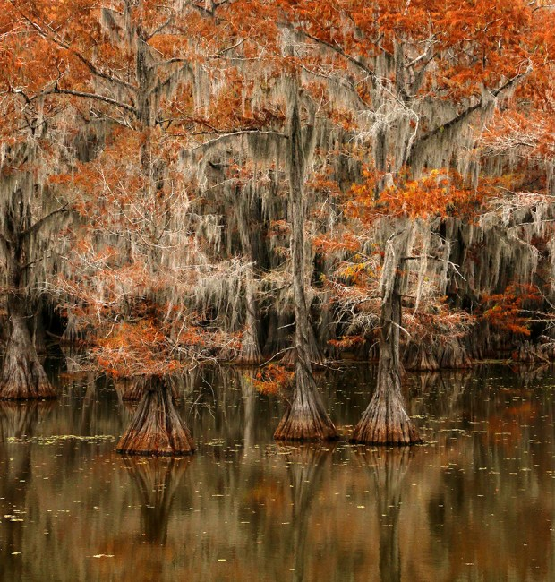 Showcase 2019 Scapes, Judges' Choice: Bald Cypress Trees in Autumn © Cynthia Lockwood.