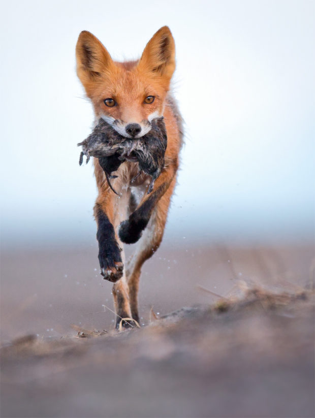 Showcase 2019 Mammals, Best in Show: Red Fox - Mouth Full of Voles © Robert Schamerhorn.