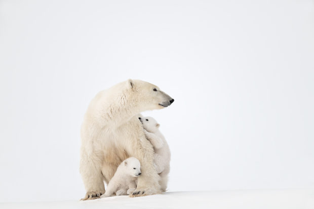 "Showcase 2019 Top 100 winner: ""Cubs Play While Protected by Their Mother, Wapusk National Park, Manitoba, Canada"" © Steven Barger."