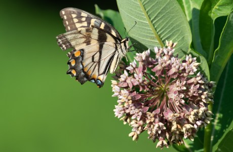 An Eastern Tiger Swallowtail feeds on milkweed flowers. This meadow, planted with milkweed, is an important stop on the Monarch butterfly migration, but also provides food and shelter for many other insects, birds, rodents and reptiles all year long.