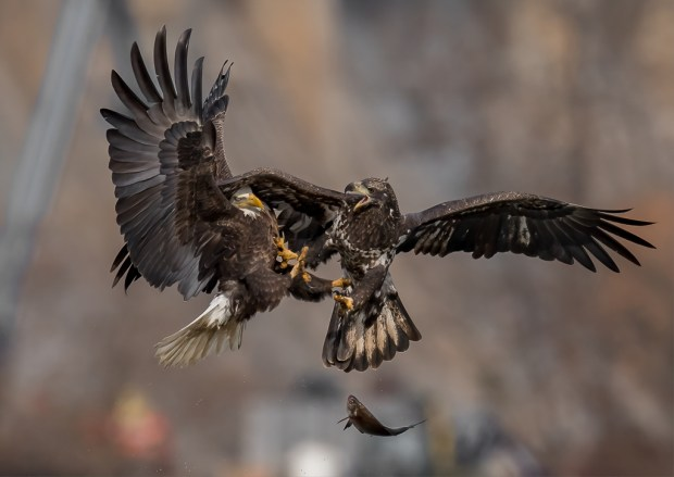 Showcase 2019, First Runner Up, Birds: Eagle Battle, Darlington, Maryland © William Page Pully.