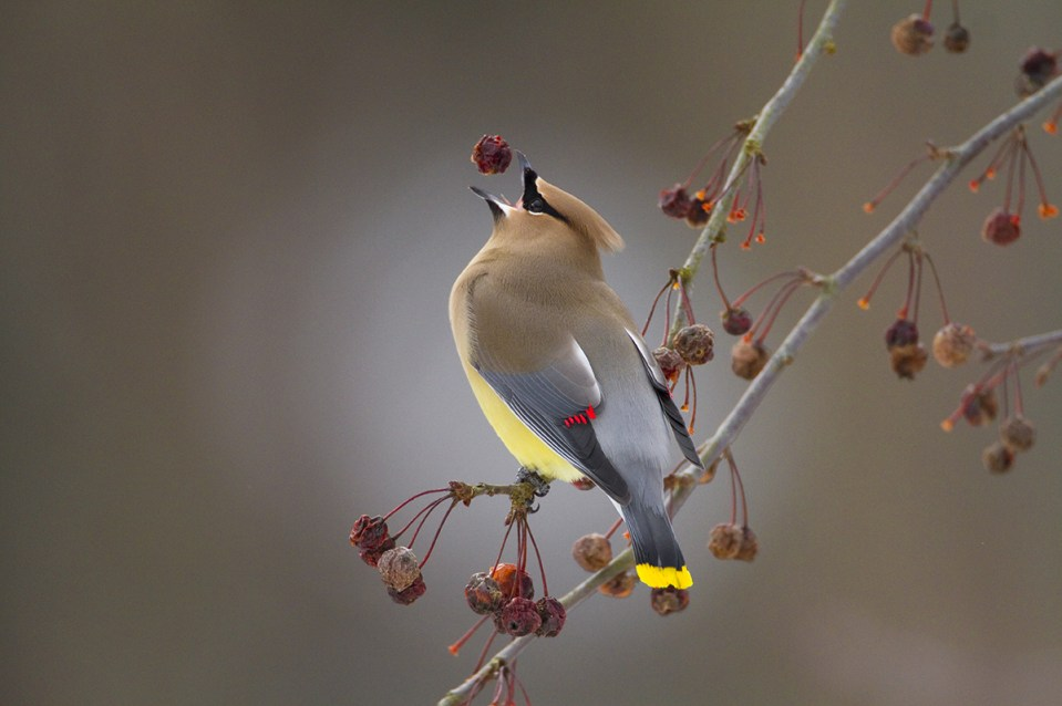 Cedar Waxwing (Bombycilla cedrorum) feeding on crabapple fruit in late winter, Ithaca, New York, USA. Canon EOS 7D, EF 500mm f/4 IS USM lens, 1.4X extender, Gitzo tripod. 1/1250 second, f/5.6, ISO 800.