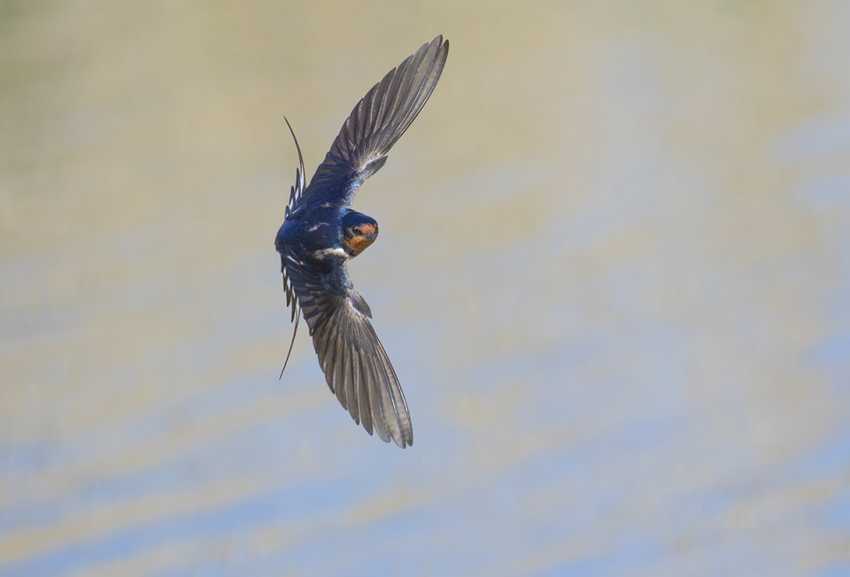 Barn Swallow (Hirundo rustica), Bear River National Wildlife Refuge, Utah. Canon EOS 7D II, EF 100-400 mm IS II lens (at 400mm), handheld, AF Point Expansion (5 points). 1/2500 second, f/5.6, ISO 500.