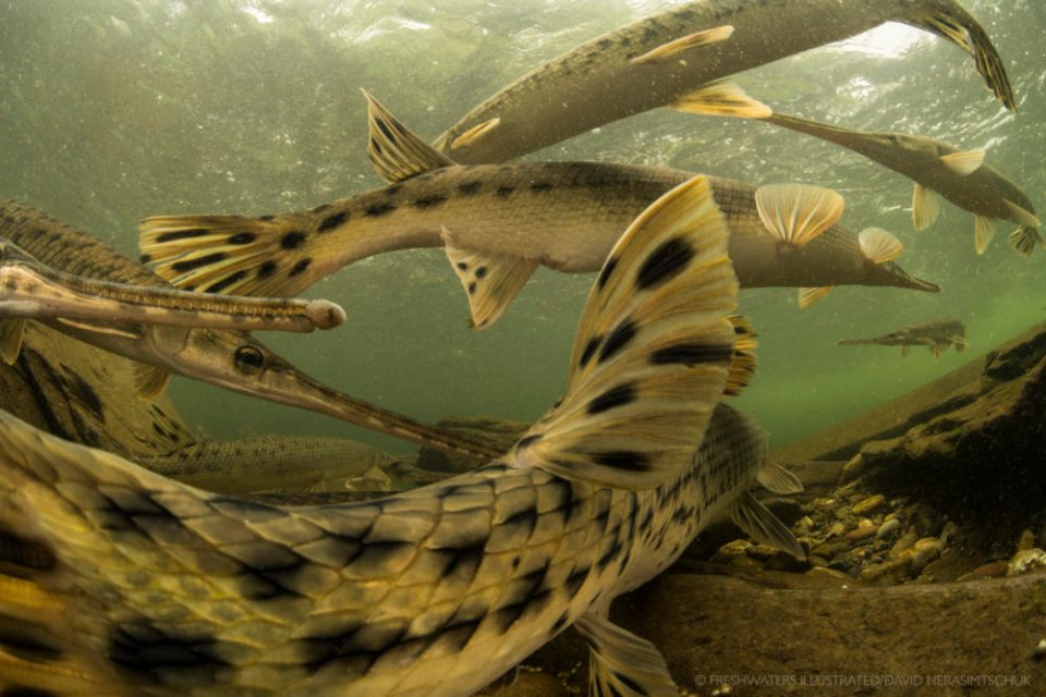 Several Gar, a species of ray-finned fresh-water fish.