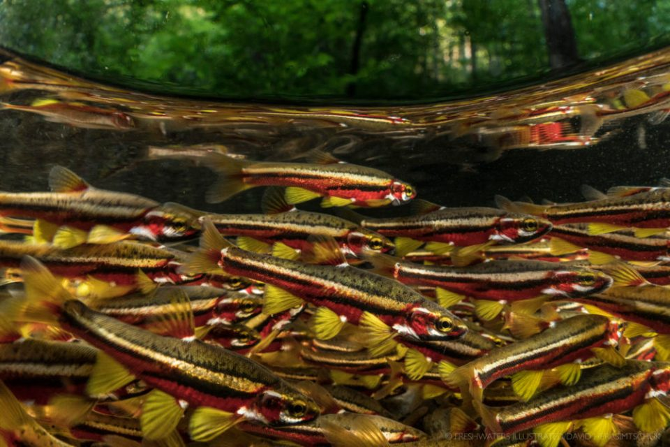 A school of Dace, a fresh- or brackish-water fish commonly found in rivers and streams.