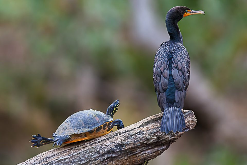 Florida red-bellied cooter (Pseudemys nelsoni) and double-crested cormorant (Phalacrocorax auritus) in Florida.