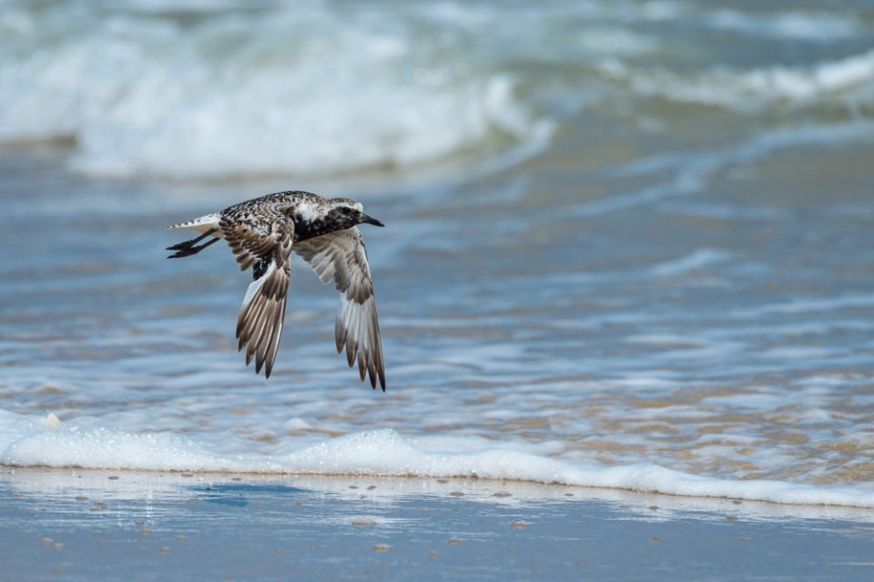 Black-bellied Plover, Central Flyway, Padre Island National Seashore.