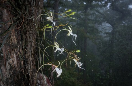 A state-listed endangered species in Florida, the ghost orchid is a leafless plant that photosynthesizes through its roots. Surviving in the subtropical climates of South Florida's Everglades, only an estimated 2000 remain because of poaching pressures. This plant is likely safe from poachers as it took root 50-feet up in a 500-year-old cypress. © Mac Stone.