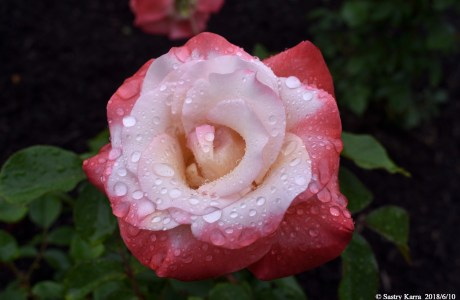 A single rose with water droplets.