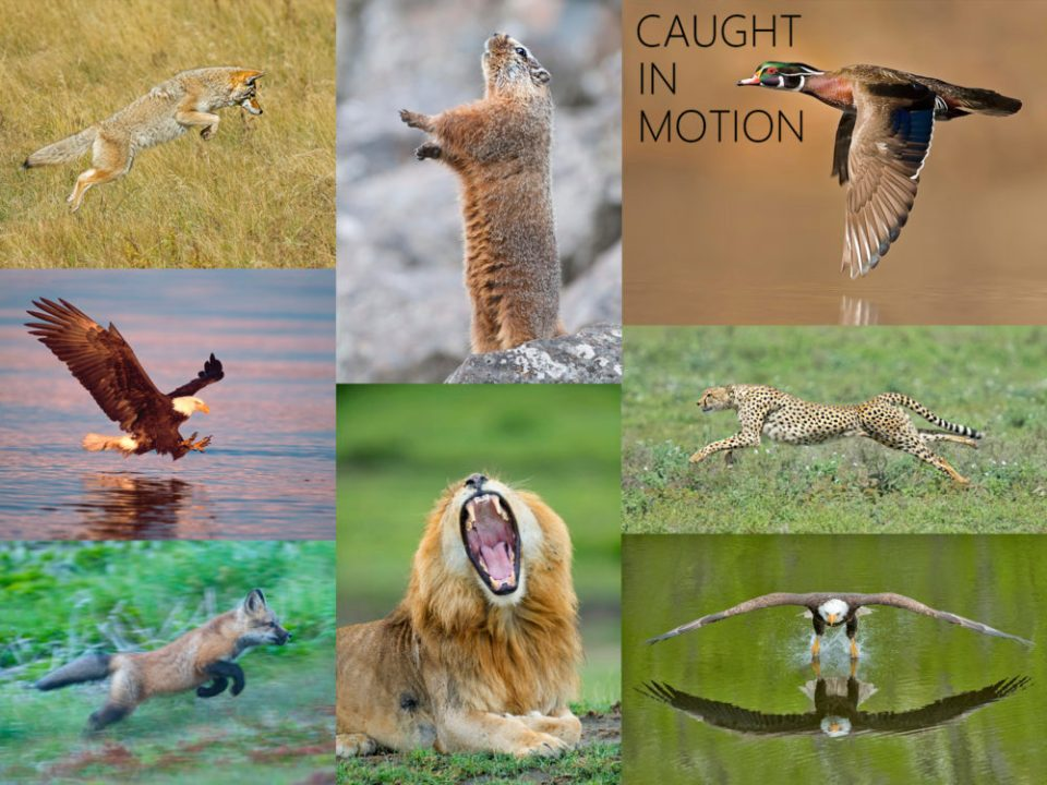 Collage of wildlife photographed in motion