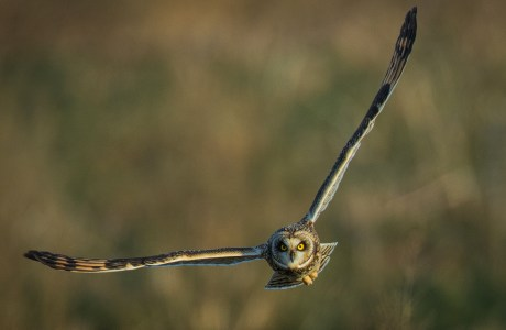 Photo of owl in flight, © Scott Dere.