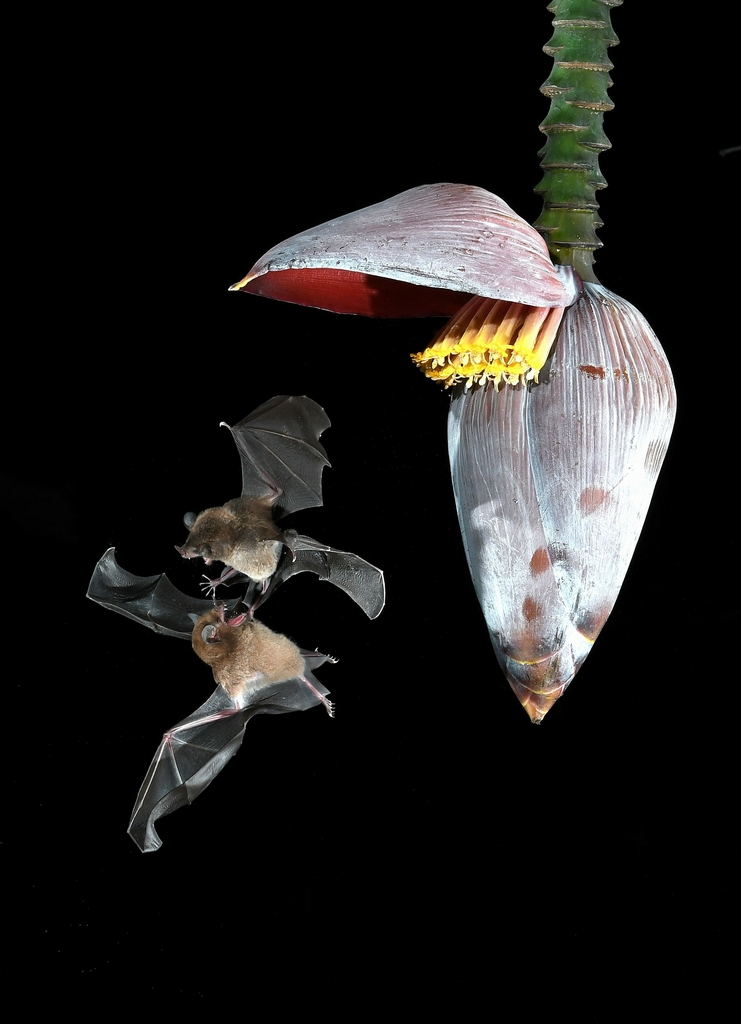 "Showcase 2019 Top 100 winner: ""Dueling Bats Spar Over Night Nectar, Costa Rica"" © Karen Leperi."