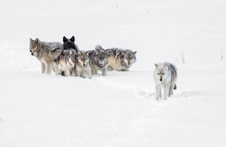 """Wolves walking through snow. Showcase 2020, Best in Show, Mammals: """"Yellowstone Wolf Pack"""" © Patrick Pevey."""