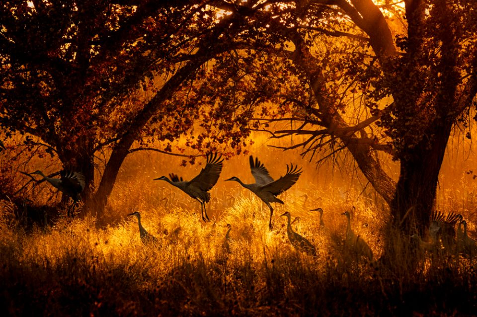 "Showcase 2020, Best in Category, Birds: ""Sandhill Cranes at Sunset in Central New Mexico"" © Keith Bauer."