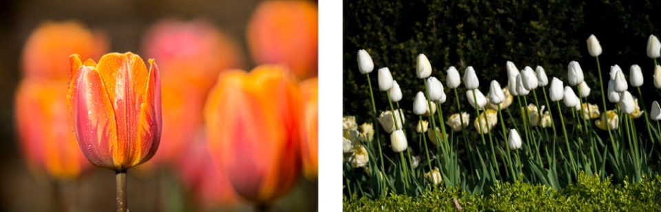 Triumph tulips (5/6/15) on the left and single-late tulips (5/7/14) on the right