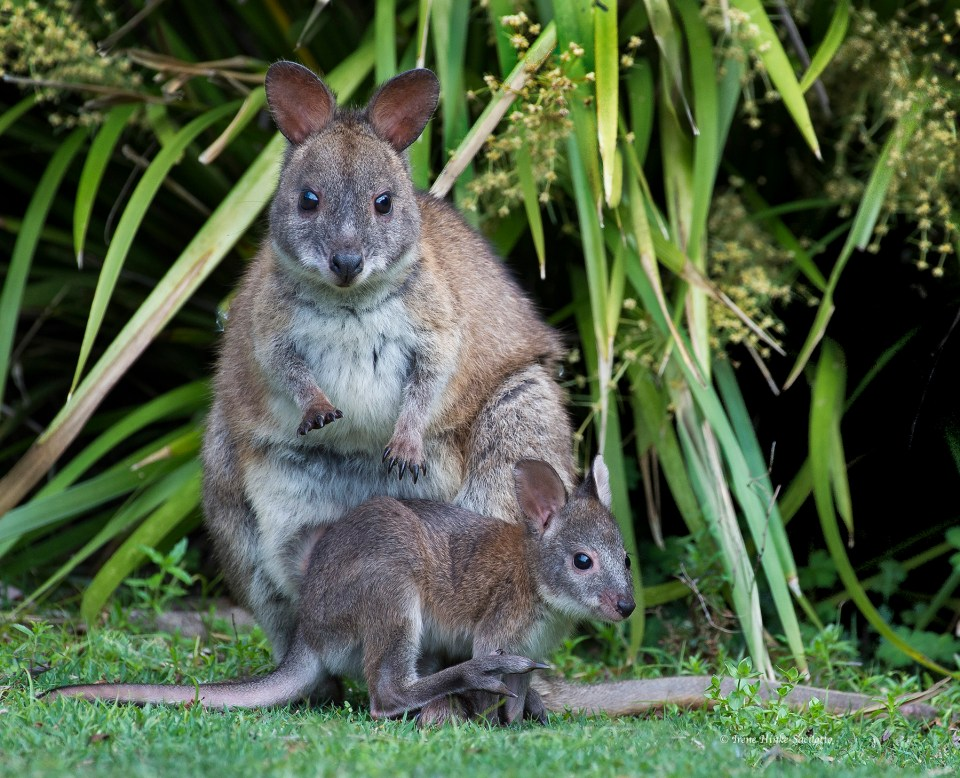 I spent a long time with this pair of wallabies and took a number of photos of them. This one shows the size of the joey. I suspect junior may shortly be too large to be fit in mom's pouch.