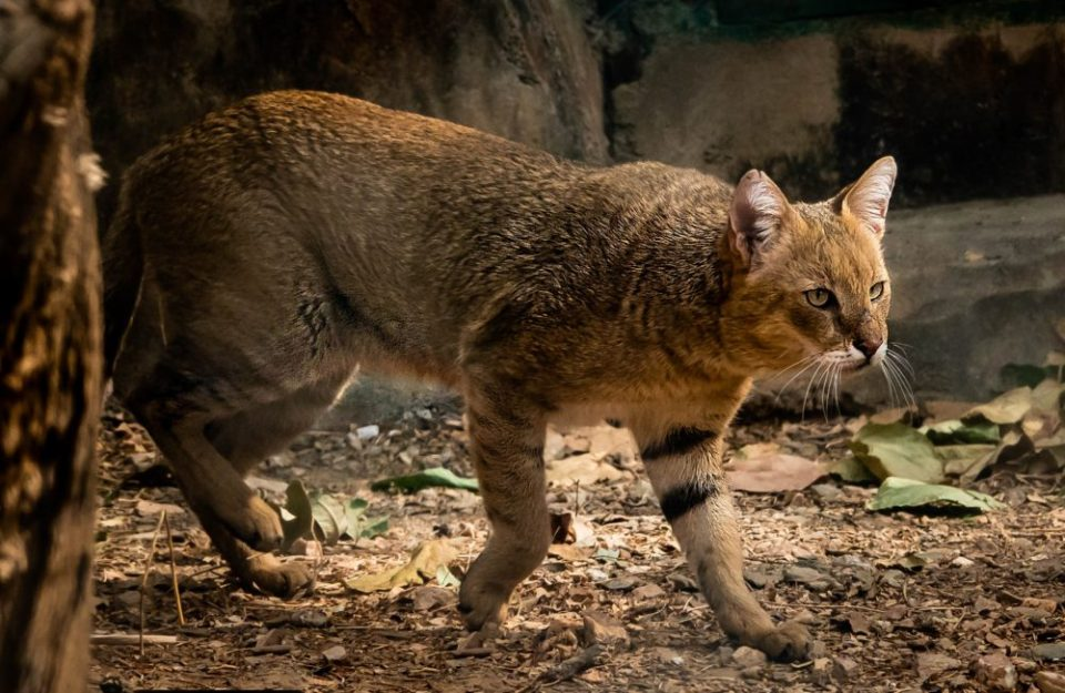 Jungle cats look like large domestic house cats.