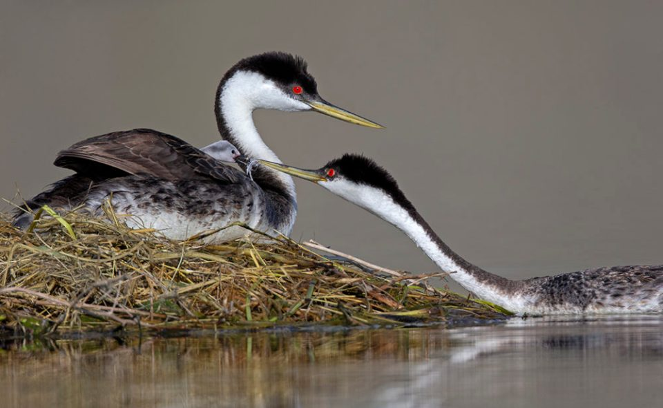 "Showcase 2020 Top 100 winner: ""Western Grebe Female Offers Her Chick a Feather to Eat"" © Diane McAllister."