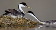 """Showcase 2020 Top 100 winner: """"Western Grebe Female Offers Her Chick a Feather to Eat"""" © Diane McAllister."""