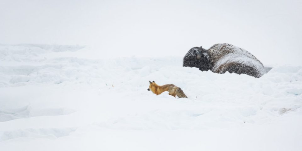 Bison hunkering down in the snow and fox on the hunt.