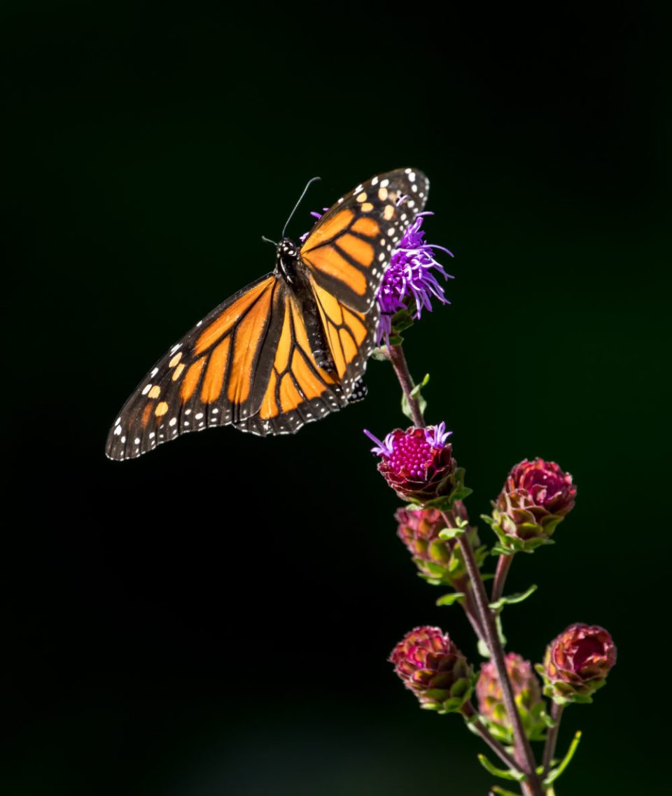 A Monarch butterfly against a black background.