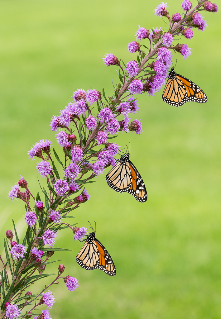 Three monarch butterflies on a flowering plant.