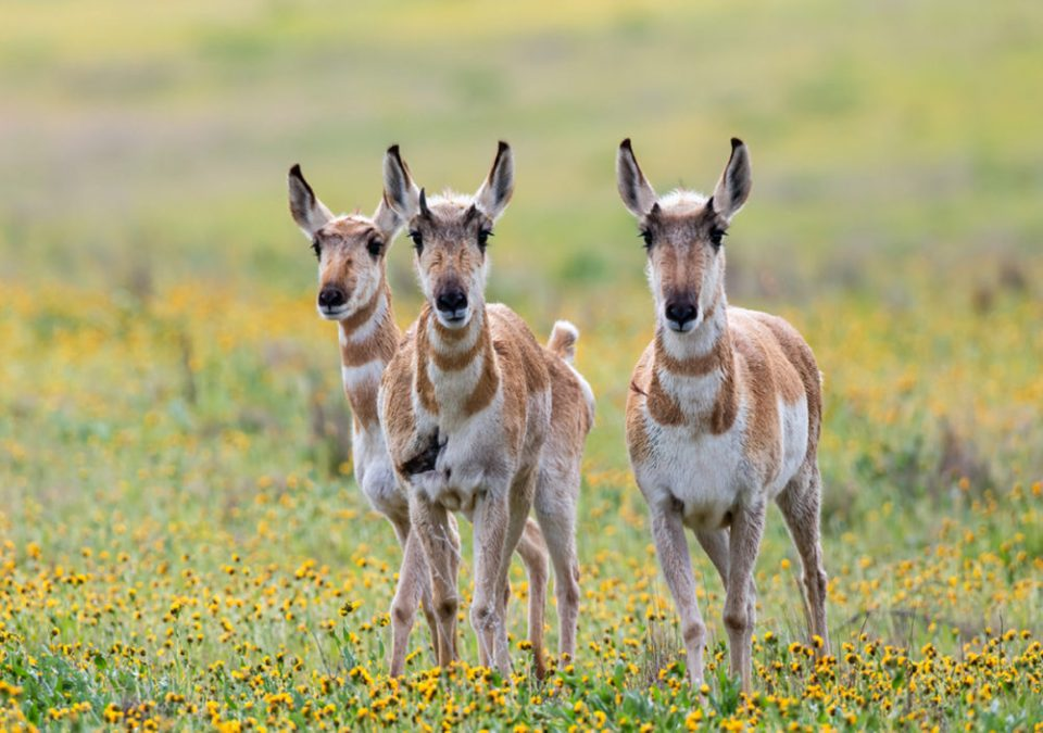 Pronghorns in a field of flowers. Wildlife and flowers make a great combination with lots of options for photographers.