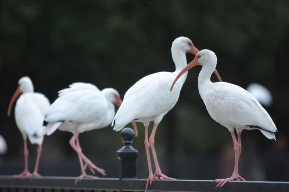 A group of White Ibis at Riverside Park in Jacksonville, FL.