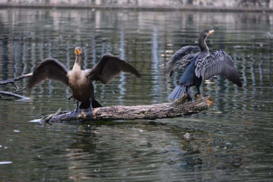 A pair of Anhinga, perched on a log, with wings outstretched, drying their feathers. 1/60 sec., f/5.6, 300mm, ISO 1000